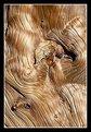Picture Title - Bristlecone Pine Detail