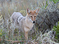 Picture Title - Western Coyote