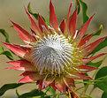 Picture Title - Protea