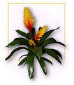Picture Title - ===Vriesia===