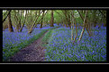 Picture Title - Too late for bluebells?
