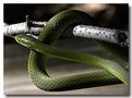 Picture Title - Rough Green Snake