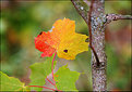 Picture Title - Maple Leaf Color