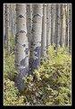 Picture Title - Fall Aspen Grove - I