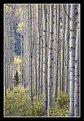 Picture Title - Fall Aspen Grove - II
