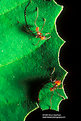 Picture Title - Leaf Cutter Ants