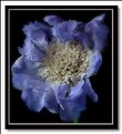 Picture Title - scabious