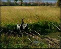 Picture Title - Painted Anhinga