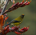 Picture Title - Bellbird