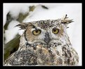 Picture Title - Great Horned Owl in the Snow