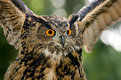 Picture Title - The Eagle Owl