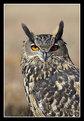 Picture Title - Eurasian Eagle Owl