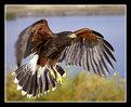 Picture Title - Harris' Hawk in Flight
