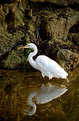 Picture Title - Great White Egret