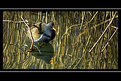 Picture Title - Moorhen, less reeds? :o)