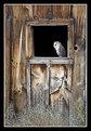 Picture Title - Barn Owl in Barn Window