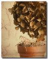 Picture Title - Winter Hydrangea