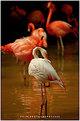 Picture Title - flamingo's