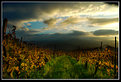 Picture Title - Golden vineyards