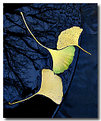 Picture Title - Gingko Serenity