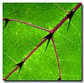 Picture Title - Killer Leaf