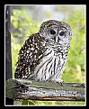 Picture Title - Barred Owl