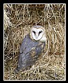 Picture Title - Barn Owl on Hay Bales
