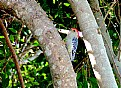 Picture Title - Red bellied woodpecker