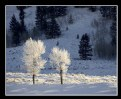 Picture Title - Trees with Hoarfrost