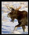 Picture Title - Bull Moose in Snow