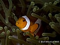 Picture Title - Anemonefish