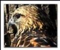 Picture Title - Hawk Portrait 2