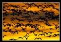 Picture Title - Snow Goose Flock at Dawn