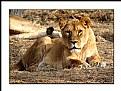 Picture Title - Feline Lion
