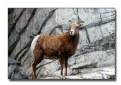 Picture Title - Bighorn Sheep Ewe