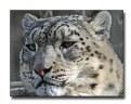 Picture Title - Snow Leopard