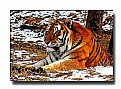 Picture Title - Resting Siberian Tiger