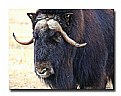 Picture Title - Muskox 2