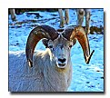 Picture Title - Mountain Sheep