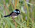 Picture Title - Blue Wren