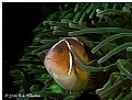 Picture Title - Pink Anemone fish