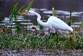 Picture Title - Egret II