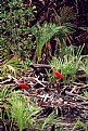Picture Title - Kori Kori (scarlet ibis)