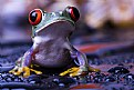 Picture Title - Red Frog