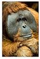 Picture Title - orangutan