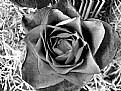 Picture Title - Rosa divina