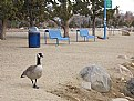 Picture Title - Goose in Park
