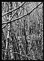 Picture Title - Birches in black and white