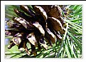 Picture Title - Smell the Pine