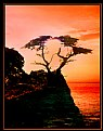 Picture Title - Lone Cypress Tree